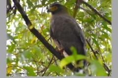 Crested-Serpent-Eagle
