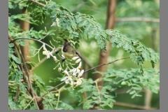 Purple-Sunbird-Female1