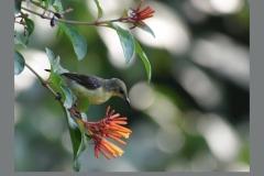 Purple-Sunbird-Female2