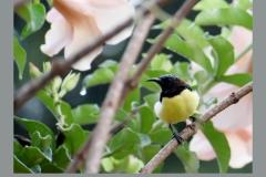 Purple-Sunbird-Male